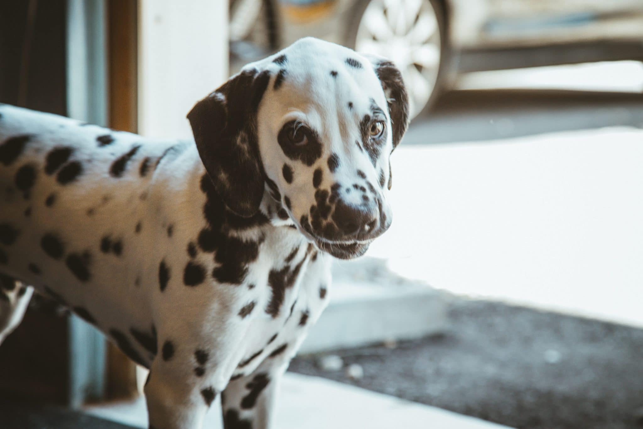 Dalmatian For Sale—Factors That Must Be Known Before Buying Dalmatian Puppy